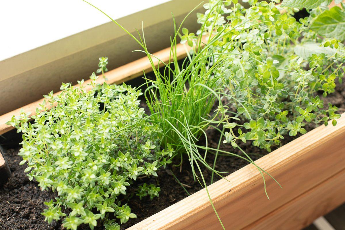 Mes premières plantes aromatiques de balcon